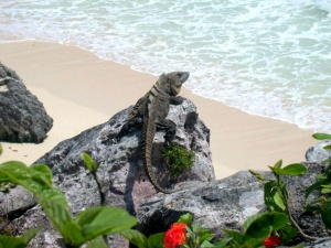 Iguana At The Beach Cancun.jpg