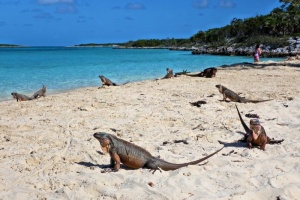 Iguanas At The Beach Bahamas.jpg