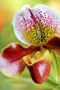 Orchid Dotted Pitcher01.jpg