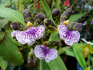 Orchid Violet Dotted.jpg