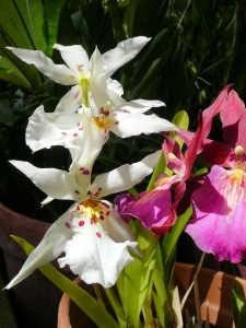 Orchid White & Red.jpg
