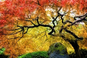 Japanese Maple02.jpg