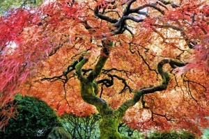 Japanese Maple03.jpg