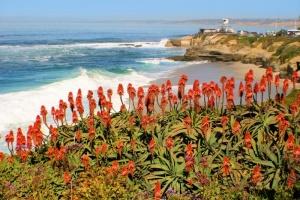 Cactus Flowers La Jolla Coast.jpg