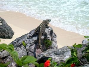 Iguana At The Beach Cancun.jpg