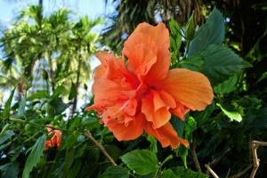 Hybiscus Orange.jpg