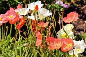 Poppies.jpg