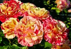 Roses Red & Yellow01.jpg