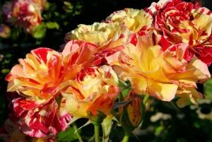 Roses Red & Yellow02.jpg