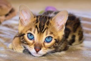 Bengal Kitten Closeup.jpg